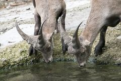 Thirsty deers drinking water royalty free stock image