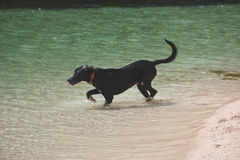 Thirsty dog in the ocean. Thirsty dog running into the water at the ocean beachside Stock Images
