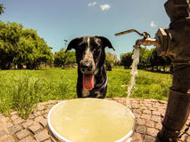 Thirsty dog Stock Image