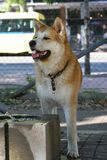 Thirsty dog in dog park. Thirsty Akita Inu thinks before drinking water Royalty Free Stock Images