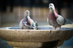 Thirsty doves Stock Images