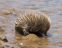 Thirsty Echidna Royalty Free Stock Images