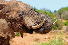 Thirsty Elephant Royalty Free Stock Photos