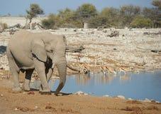Thirsty Elephant Royalty Free Stock Photo