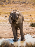 Thirsty elephant Stock Image