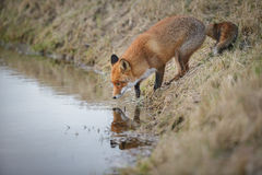 Thirsty fox Royalty Free Stock Images