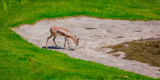 Thirsty Gazelle Royalty Free Stock Images