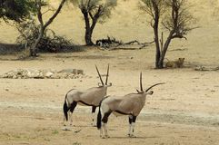 Gemsbok look longingly at water, Kgalagadi Transfrontier National Park , South Africa Royalty Free Stock Photography