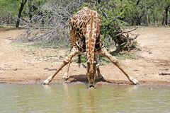 Thirsty giraffe Stock Images
