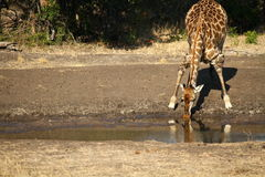 A thirsty giraffe bows for a drink stock image