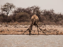 Thirsty giraffe drinking from waterhole Stock Photo