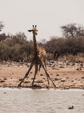 Thirsty giraffe drinking from waterhole Royalty Free Stock Images