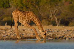 Thirsty. Giraffe drinking from waterhole in Etosha National Park, Namibia Royalty Free Stock Image