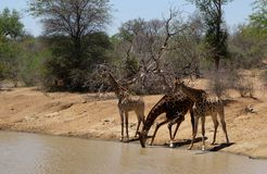 Thirsty giraffe. With her babies drinking water in the Savanna – South Africa Stock Images
