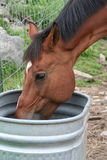 Thirsty Horse. Profile of brown horse taking a drink of water Stock Photography