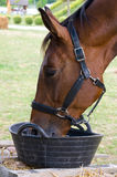 Thirsty horse Royalty Free Stock Images