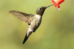 Thirsty Hummer Stock Photo