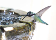 Thirsty Hummingbird Royalty Free Stock Photography