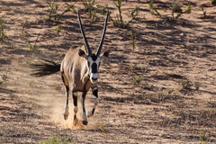 Thirsty and hungry oryx running down a dune in the late afternoo Royalty Free Stock Photography