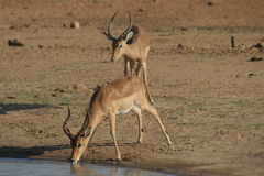 Thirsty Impala. An Impala drinking water in the Kruger National Park stock photography