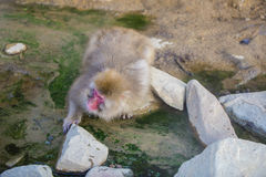 Thirsty Japanese Macaque/Snow Monkey Stock Photos
