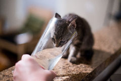 Thirsty Kitten royalty free stock images
