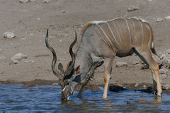 Thirsty Kudu Stock Image