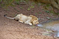 Thirsty Lion Royalty Free Stock Images