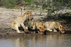 Thirsty lion cubs near water in the Savanna – South Africa. Thirsty lion cubs drinking water in the Savanna – South Africa Royalty Free Stock Photos