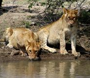 Thirsty lion cubs near water in the Savanna – South Africa. Thirsty lion cubs drinking water in the Savanna – South Africa Royalty Free Stock Photography