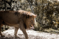 Thirsty Lion walks among dried foliage Royalty Free Stock Images