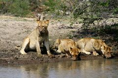 Thirsty lions drinking water in a hole. In the Savanna – South Africa Royalty Free Stock Photography