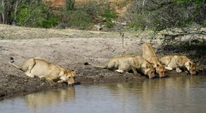 Thirsty lions drinking water in a hole. In the Savanna – South Africa Stock Photo