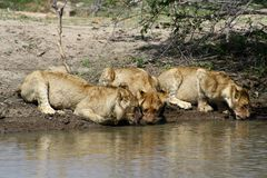 Thirsty lions drinking water in a hole. In the Savanna – South Africa Royalty Free Stock Images