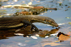 Thirsty lizard Royalty Free Stock Photography