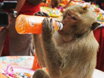 Thirsty monkey Stock Photo