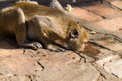Thirsty monkey Stock Photos