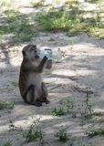 Thirsty monkey. Photographed with serious camera in light with somebody but anytime Stock Photo