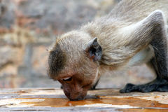 Thirsty monkey Royalty Free Stock Photo