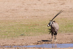 Thirsty Oryx drinking water at pond Royalty Free Stock Image
