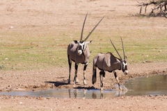 Thirsty Oryx drinking water at pond in hot Royalty Free Stock Image