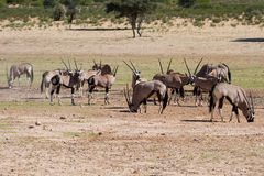 Thirsty Oryx drinking water at pond in hot and dry desert Royalty Free Stock Photo