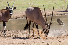 Thirsty Oryx drinking water at pond in hot and dry desert Royalty Free Stock Images