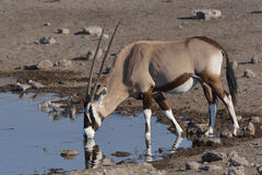 Thirsty Oryx. Oryx drinking from waterhole in Etosha National Park, Namibia Royalty Free Stock Images