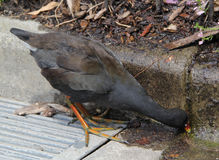 A Thirsty Pheasant II. A pheasant--or some bird of the sort, with its orange-red-and-yellow beak--finally gets the drink it wanted from a crack in the sidewalk Stock Photo