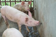 Pig drinking. Thirsty pig drinking water at farm pigsty Royalty Free Stock Photo