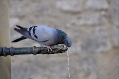 Thirsty Pigeon Stock Image