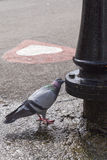 Thirsty pigeon Royalty Free Stock Images