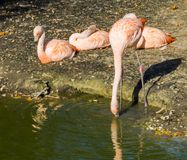 Thirsty pink Chilean flamingo drinking water out of the lake and three other flamingos sitting in the background. A Thirsty pink Chilean flamingo drinking water royalty free stock photo