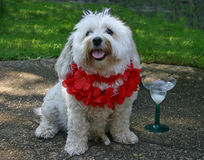 Thirsty Puppy. Maltese with a lei on and a margarita stock photo
